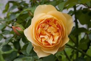 2012-06-19 Mottisfont rose garden2