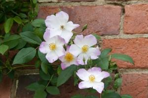2012-06-19 Mottisfont rose garden6