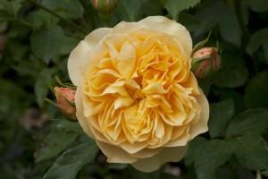 2012-06-19 Mottisfont rose garden7