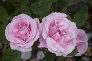 2012-06-19 Mottisfont rose garden9