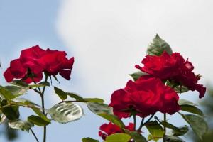 2015-06-19 Dorchester Abbey roses1