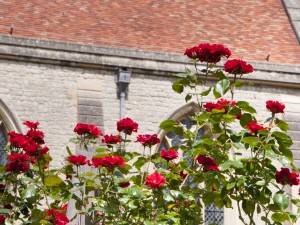2015-06-19 Dorchester Abbey roses3