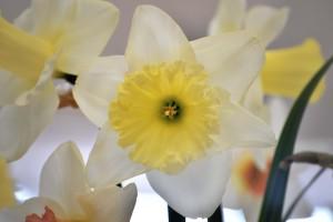 2016-04-02 Narcissus