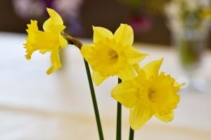 2016-04-02 Yellow daffodils