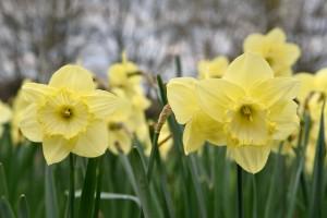 2016-04-14 Wisley daffodils2