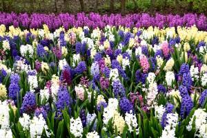 2016-04-14 Wisley hyacinths2