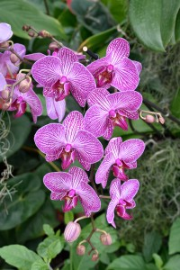 2016-04-14 Wisley orchids5
