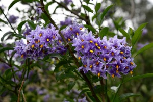 2016-06-14 Lullingstone Castle Solanum Crispum Glasnevin