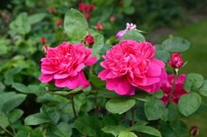 2016-06-15 Borde Hill Rose Garden4