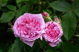 2016-06-16 Pashley Manor dark pink roses