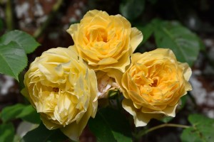 2016-06-16 Pashley Manor yellow roses