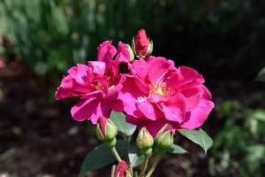 2016-06-16 Sissinghurst Gardens roses1