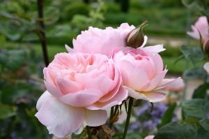 2017-06-13 Trentham Estate roses