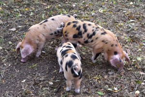 2018-10-12 Harcourt Arboretum Oxford sandy & black piglets-r
