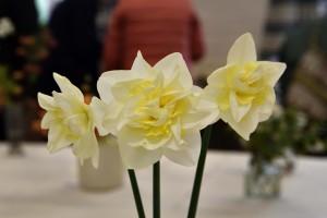 2019-04-06 Double daffodils